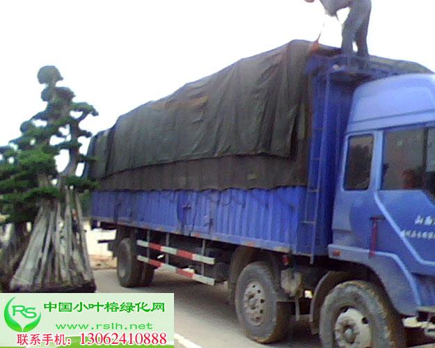 小叶榕装车,小叶榕运输